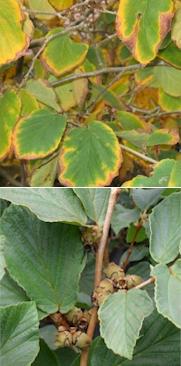 Hamamelis met bruine randen aan het blad vs. een gezond blad
